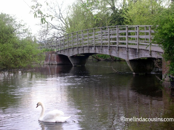 swan-on-river
